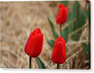 Red Tulip - 01133 Canvas Print by DC Photographer