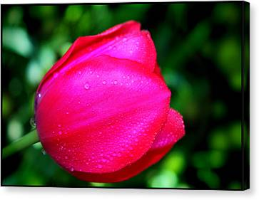 Red Tulip After The Rain Canvas Print by Aya Murrells