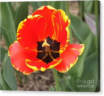Red Tulip At Brooklyn Botanical Gardens Canvas Print by John Telfer