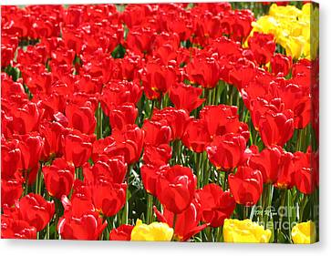 Red Tulip Field Canvas Print by Tap On Photo