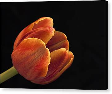 Canvas Print featuring the photograph Red Tulip by Kim Andelkovic