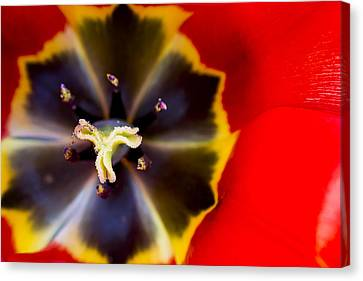 Anther Canvas Print - Red Tulip Macro by Adam Romanowicz