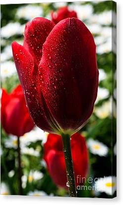 Turkey Canvas Print - Red Tulip... by Merthan Kortan