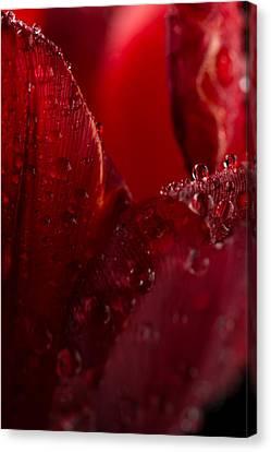 Red Tulip Canvas Print by Steve Gadomski
