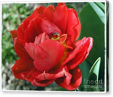 Canvas Print featuring the photograph Red Tulip by Vesna Martinjak
