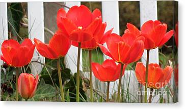 Red Tulips At Fence Canvas Print by Christina Verdgeline