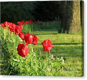 Canvas Print featuring the photograph Red Tulips by Jose Oquendo
