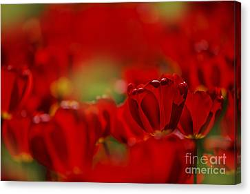 Flower Bed Canvas Print - Red Tulips by Nailia Schwarz