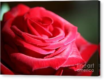 Red Velvet Rose By Morning Light  Canvas Print by Lynn England