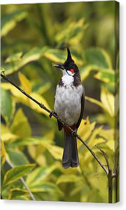 Canvas Print - Red Whiskered Bulbul by Alex Sukonkin