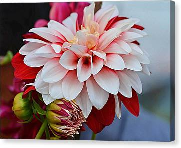 Red White Chrysentimum Flower Canvas Print by Johnson Moya