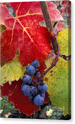 Red Wine Grapes And Leaves In Fall  Canvas Print by Gary Crabbe