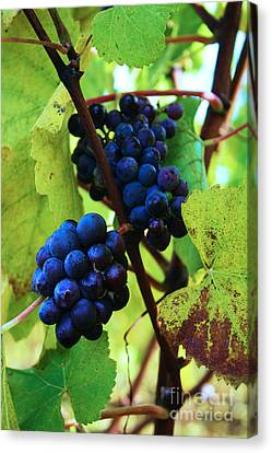 Red Wine Grapes Canvas Print by Steven Baier