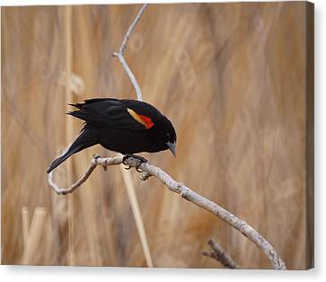 Red Winged Blackbird 1 Canvas Print by Ernie Echols