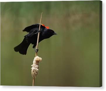 Red Winged Blackbird 3 Canvas Print by Ernie Echols
