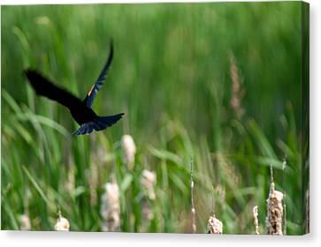 Red Winged Blackbird Canvas Print