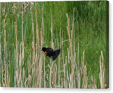 Red-winged Blackbird One Canvas Print by Carl Moore