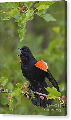 Red-winged Blackbird - D008481 Canvas Print by Daniel Dempster