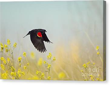 Red Winged Blackbird In Flight Canvas Print
