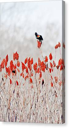 Red Winged Blackbird On Sumac Canvas Print by Steven Ralser