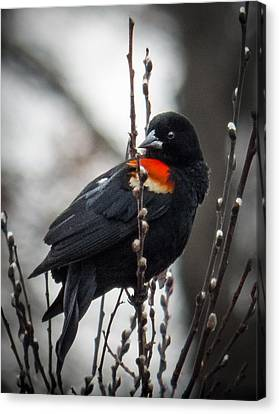 Canvas Print featuring the photograph Red Winged Blackbird In Pussy Willows by Patti Deters