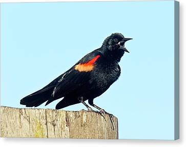 Red-winged Blackbird Singing Canvas Print by Bob Gibbons