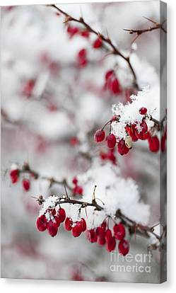 Frosty Canvas Print - Red Winter Berries Under Snow by Elena Elisseeva