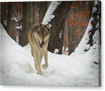Red Wolf On A Winter Hunt Canvas Print