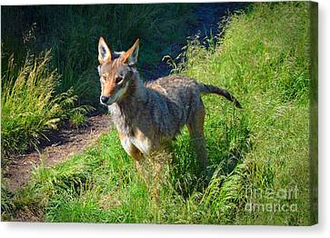 Red Wolf Pup Canvas Print