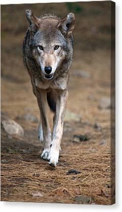 Red Wolf Strut Canvas Print by Karol Livote