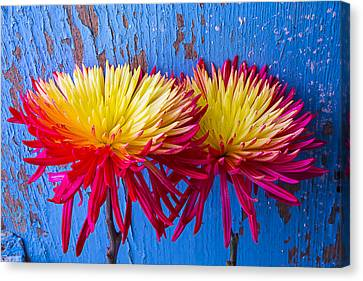 Red Yellow Mums Against Blue Wall Canvas Print by Garry Gay