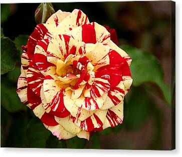 Red Yellow Rose Canvas Print by Christine Till
