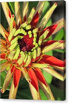 Red Zinnia Early Bloom  Canvas Print by Doug Morgan