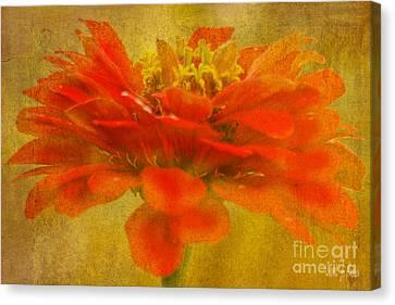 Red Zinnia Essence Canvas Print by Carol F Austin