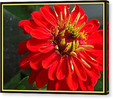 Canvas Print featuring the photograph Red Zinnia With Yellow by Heidi Manly
