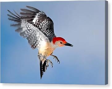 Redbellied Woodpecker Canvas Print by Bill Wakeley