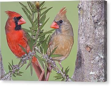 Redbirds Face To Face Canvas Print