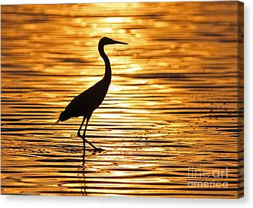 Reddish Egret At Sunset Canvas Print by Jennifer Zelik