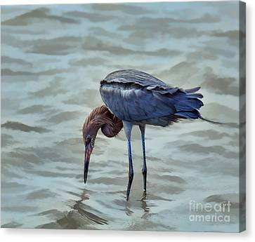 Reddish Egret Feeding In Shallow Water Canvas Print by Louise Heusinkveld