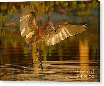 Reddish Egret In Golden Sunlight Canvas Print
