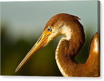 Reddish Egret In Shark Valley Florida Canvas Print