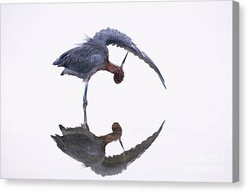 Reddish Egret Canvas Print by Marie Read