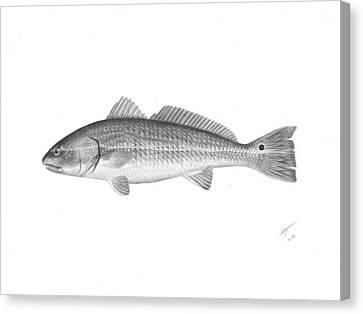 Redfish - Scientific Canvas Print