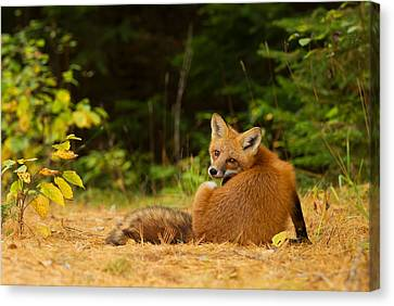 Redfox, Algonquin Park Canvas Print by Jim Cumming