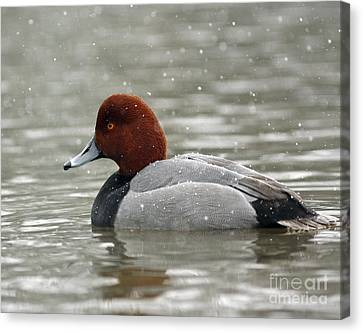 Shelley Myke Canvas Print - Redhead Duck In A Winter Snow Storm by Inspired Nature Photography Fine Art Photography
