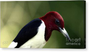Redheaded Woodpecker At Dusk Canvas Print by Cris Hayes