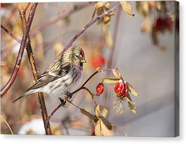 Redpoll In The Rose Bush Canvas Print by Tim Grams