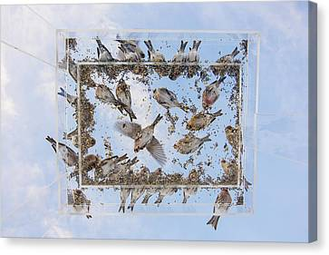 Crossbill Canvas Print - Redpols And Blue Skies by Tim Grams
