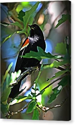 Redwing Blackbird On Alert Canvas Print by Jp Grace
