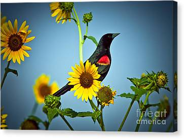Redwing In Sunflowers Canvas Print by Robert Frederick